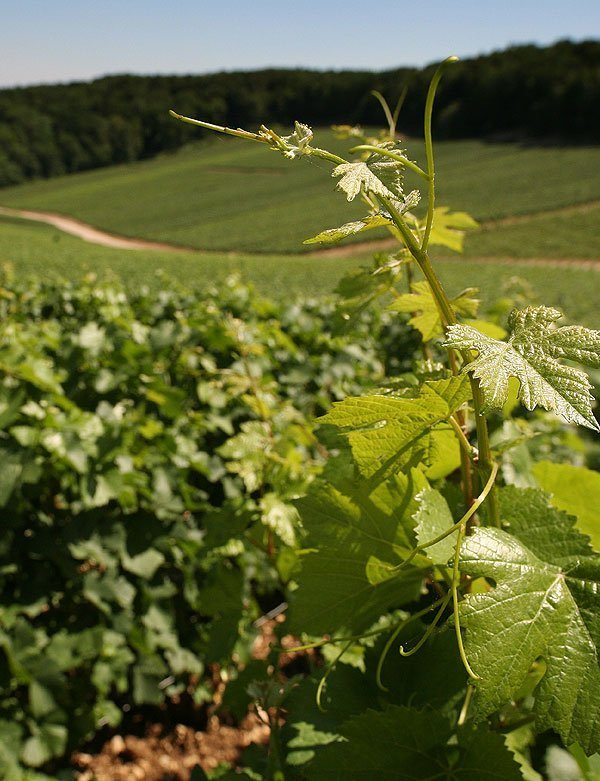 Buy independent grower champagne online